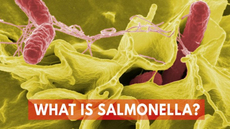 what-is-salmonella