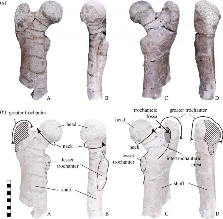 The right femur of Paleoparadoxia (EESUT-PV-0001). (a) Photograph and (b) line drawing. A: cranial view; B: interior view; C: caudal view; and D: exterior view. The scale bar is 10 cm.
