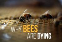 why-bees-are-dying