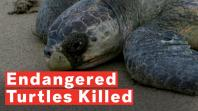 300-endangered-turtles-killed-after-being-caught-in-fishermans-net