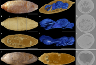 X-ray tomography of fossils with adult wasps inside