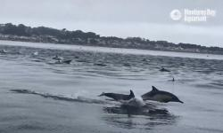 hundreds-of-ravenous-dolphins-surged-through-monterey-bay-on-labor-day-in-search-of-bait-fish