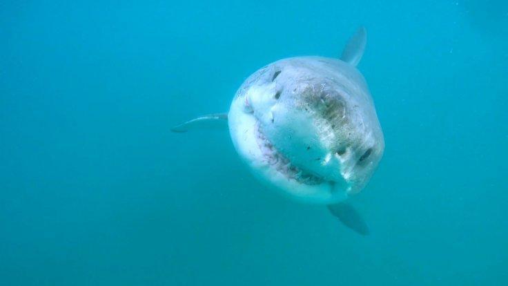 great-white-sharks-have-a-secret-lair-deep-in-the-pacific-ocean