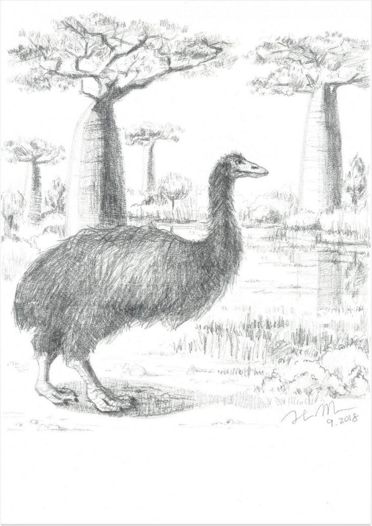 An artist's illustration of the giant elephant bird.