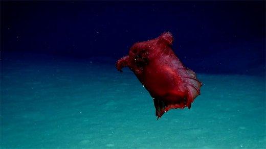 "Enipniastes eximia, the ""headless chicken monster"" (Photo: NOAA)"