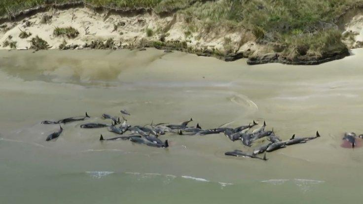 145-pilot-whales-die-in-mass-stranding-on-new-zealand-beach