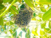 Non-native honey bees have established robust feral populations in San Diego, such as the pictured swarm. Honey bees currently make up 75 percent of the observed pollinators in San Diego, considered a global biodiversity hotspot.