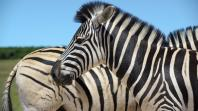 why-do-zebras-have-stripes