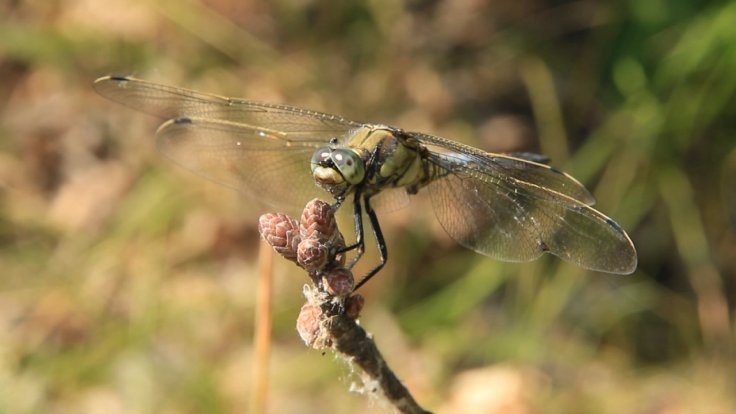 female-dragonflies-fake-their-own-death-to-avoid-mating