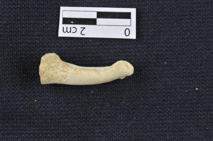 A foot bone of Homo luzonensis showing the curve that suggests the mystery dwarf species of humans could climb trees.Courtesy: Callao Cave Archaeology Project