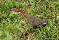 White Throated Rail