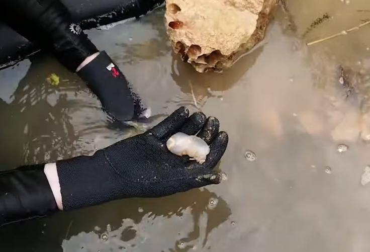 Shipworms that eat rocks