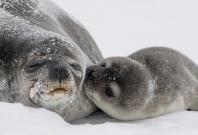 A PREGNANT SEAL