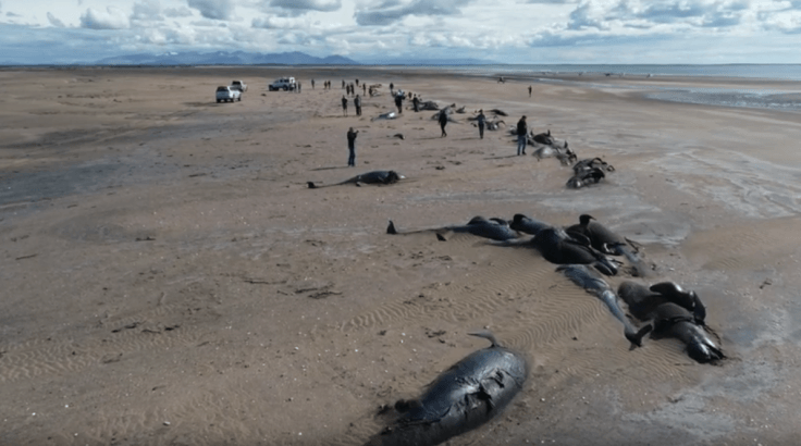 Image result for Dozens Of Pilot Whales Mysteriously Found Dead On Beach In Iceland