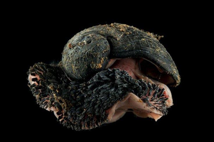 Deepsea Scaly foot gastropod