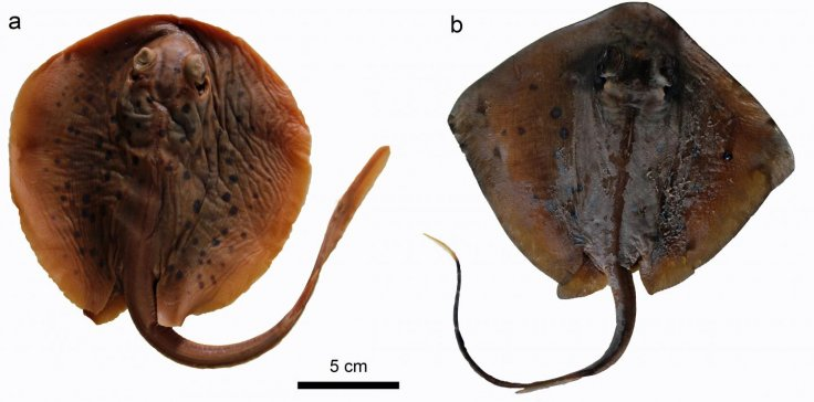 Two living stingrays: a) Taeniura lymma; b) Neotrygon sp. The specimens are in the collection of the Institute of Paleontology of the University of Vienna.