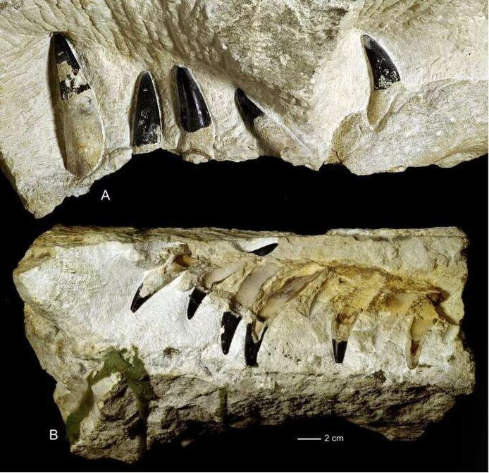 Pliosaurus jaws and teeth from the Krzyzanowice site in Poland.