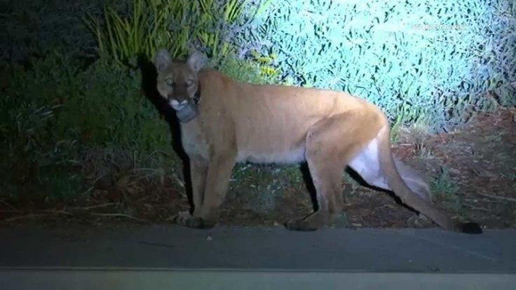 Mountain lion spotted in Simi Valley