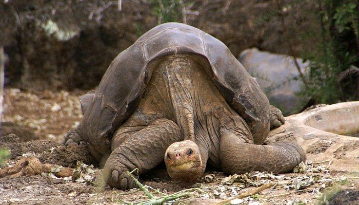 Pinta Tortoise