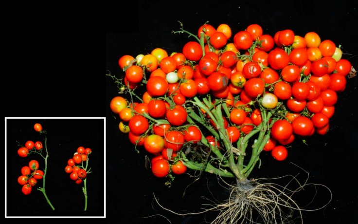 tomato that can be grown in space