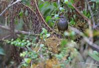 The Taliabu grasshopper-warbler is one of the new bird species discovered by the NUS-LIPI team led by Associate Professor Frank Rheindt, during their expedition in Indonesia's Wallacea region.