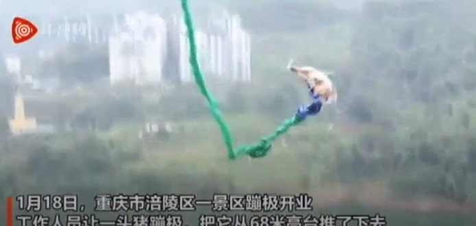 China's pig stunt