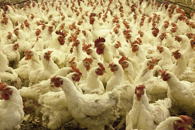 H5N1 bird flu kills 4,500 chickens in central China