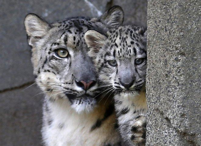 Endangered Snow Leopards Being Killed Every Year Despite