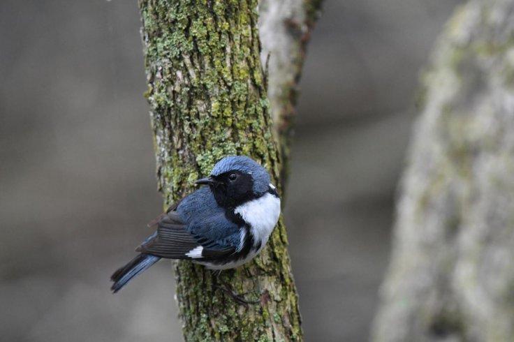 Blue Warblers