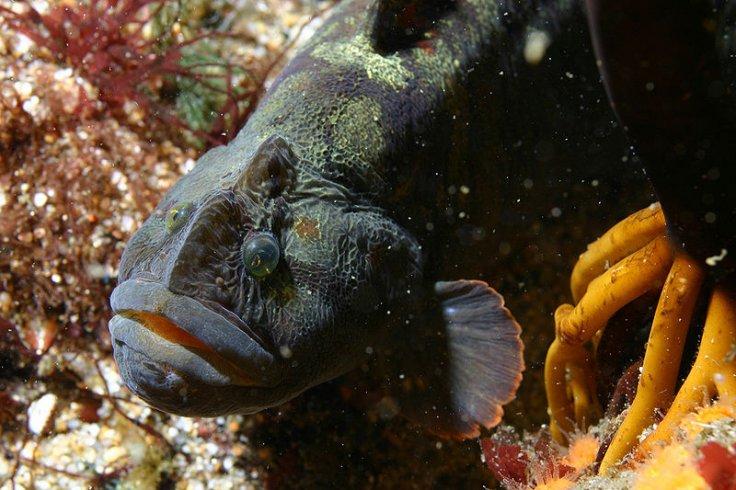 The monkeyface prickleback fish