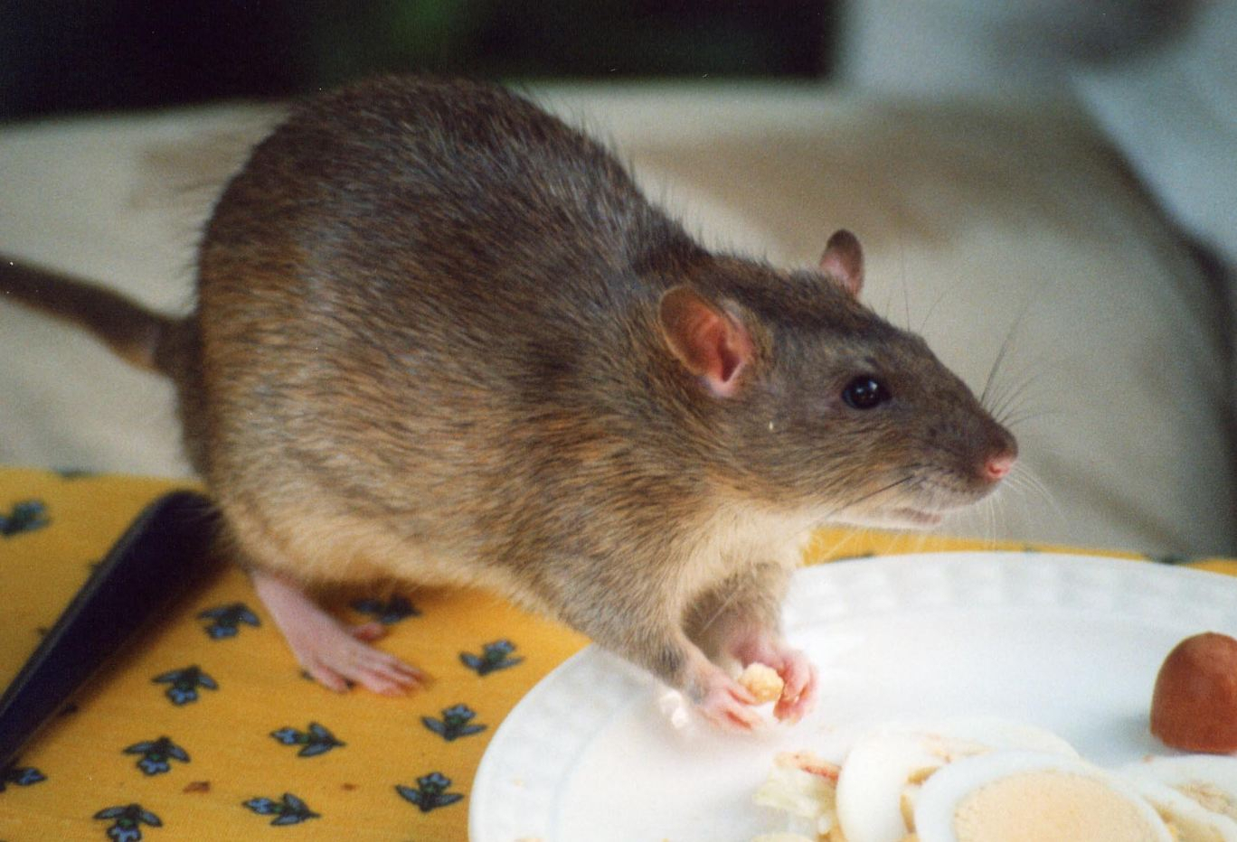 Hantavirus - from rats - caused death of man on bus in China