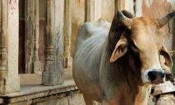 From cow dung to urine: Indians suggest bizarre solutions to fight coronavirus