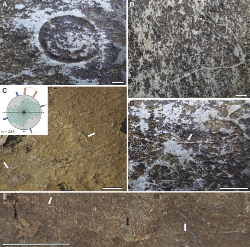 Filamentous Macrofossils from the Bonavista Peninsula, Newfoundland