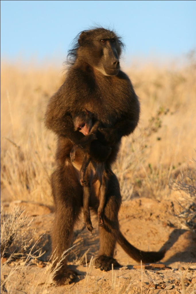 Baboon mother with dead infant