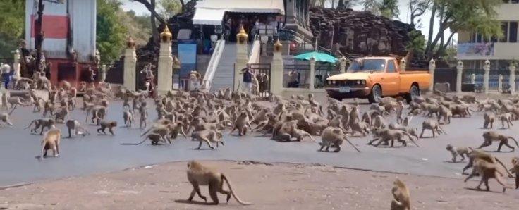 Monkeys fighting over food in Lobpuri, Thailand