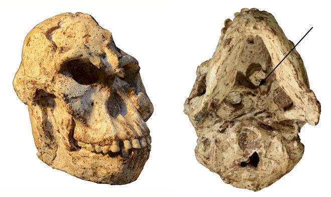 Little Foot's skull