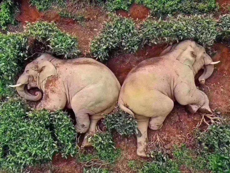 Drunk elephants corn wine