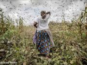 Locust threat