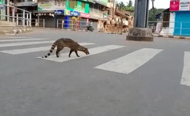 Malabar large-spotted civet