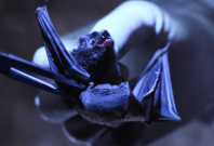 Bat research at the Wuhan CDC