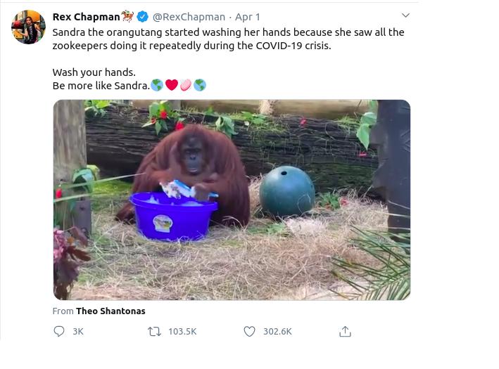 Sandra, the orangutan washing her hands