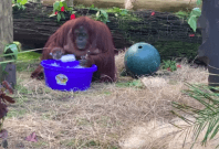 Sandra, the orangutan at Centre for Great Apes in Florida