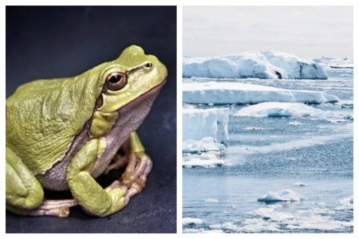 frog antarctica