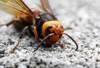 Giant Asian Hornet