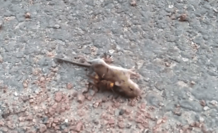 murder hornet kills mouse