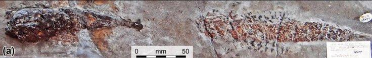 Fossilised 'Squid' Attack