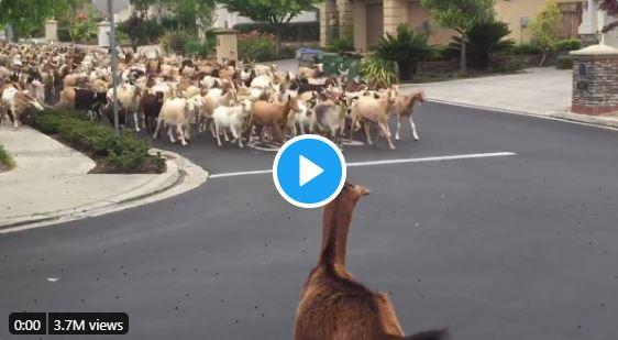 Goats storm into San Jose neighborhood