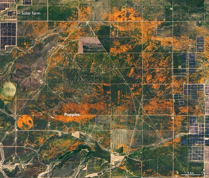 California poppy farm