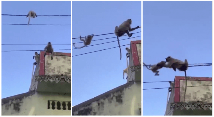 Mother monkey rescues baby monkey