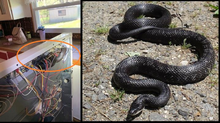 Missouri snake